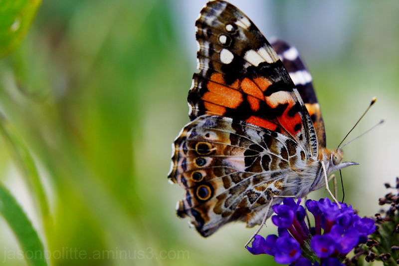 Painted Lady Butterfly feeding on buddlea blooms