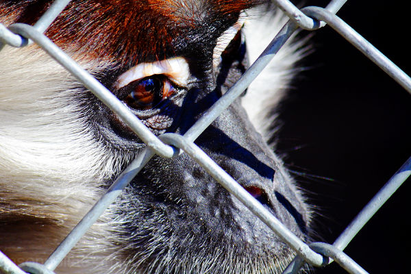 Primate looking longingly through fence