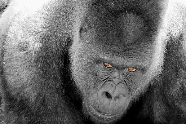 Silverback Gorilla watching us while eating
