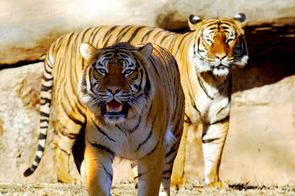 Two Tigers Standing Together