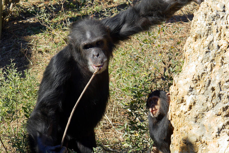 Chimpanzee showing the young one how get food