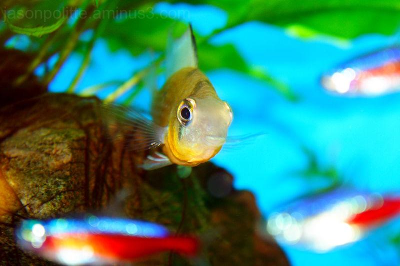 Bolivian Ram Cichlid in planted aquarium.