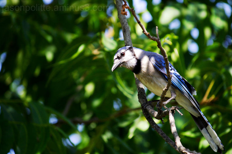 Blue Jay perched in Pecan Tree