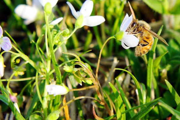 Honeybee looking for nectar