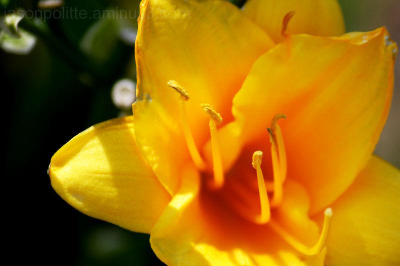 Summertime daylily flower