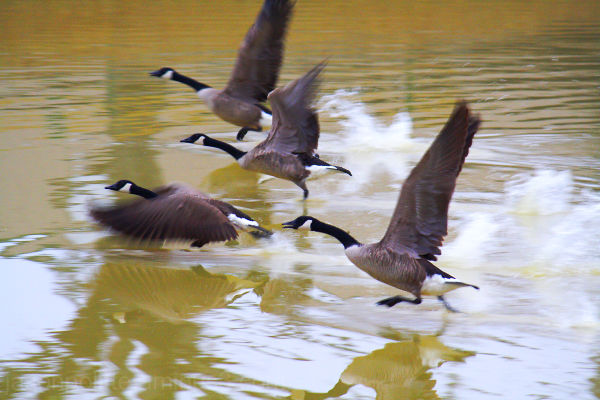 Canada Geese taking off from small pond.