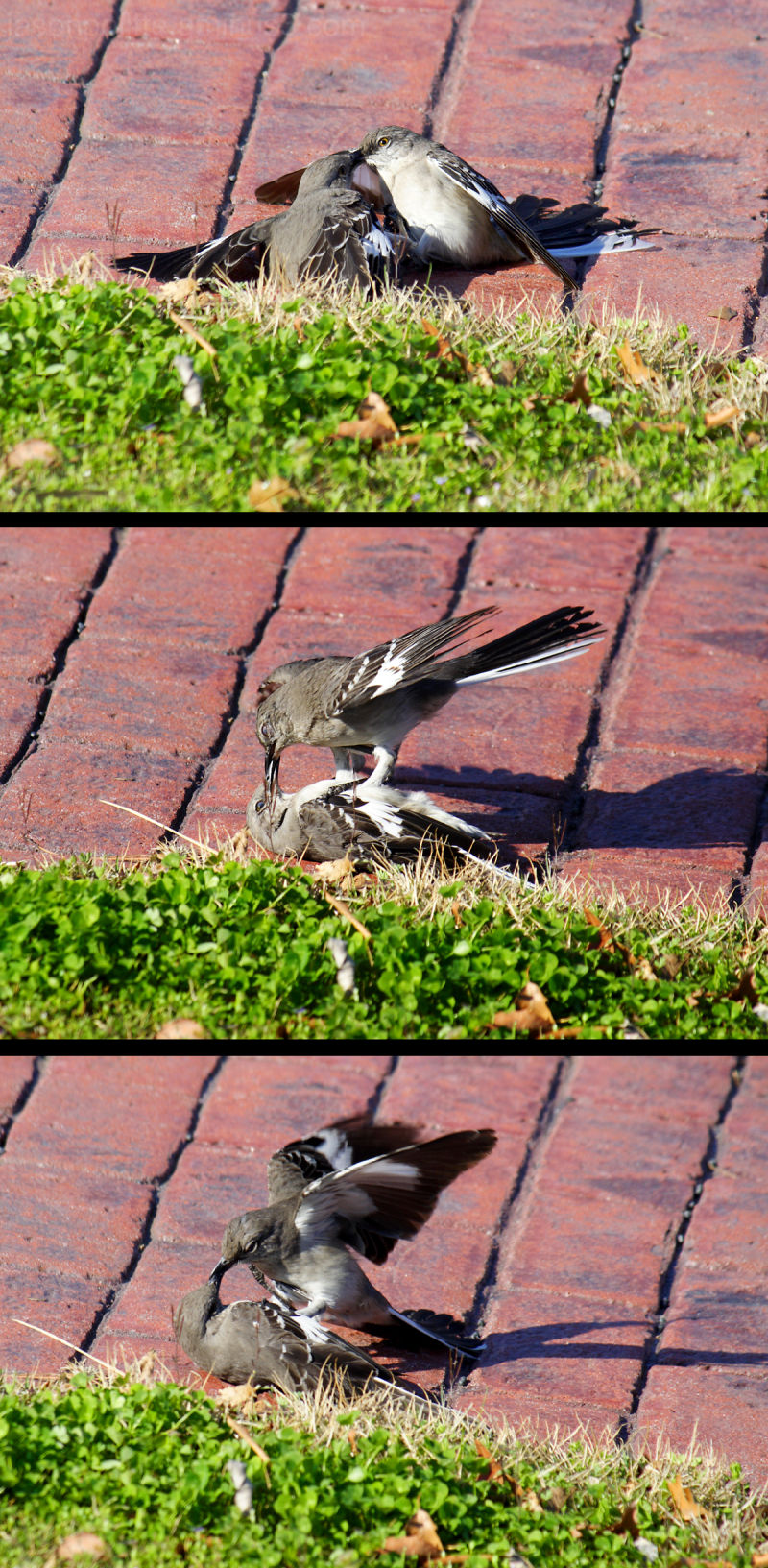 Mockingbirds fight over territory