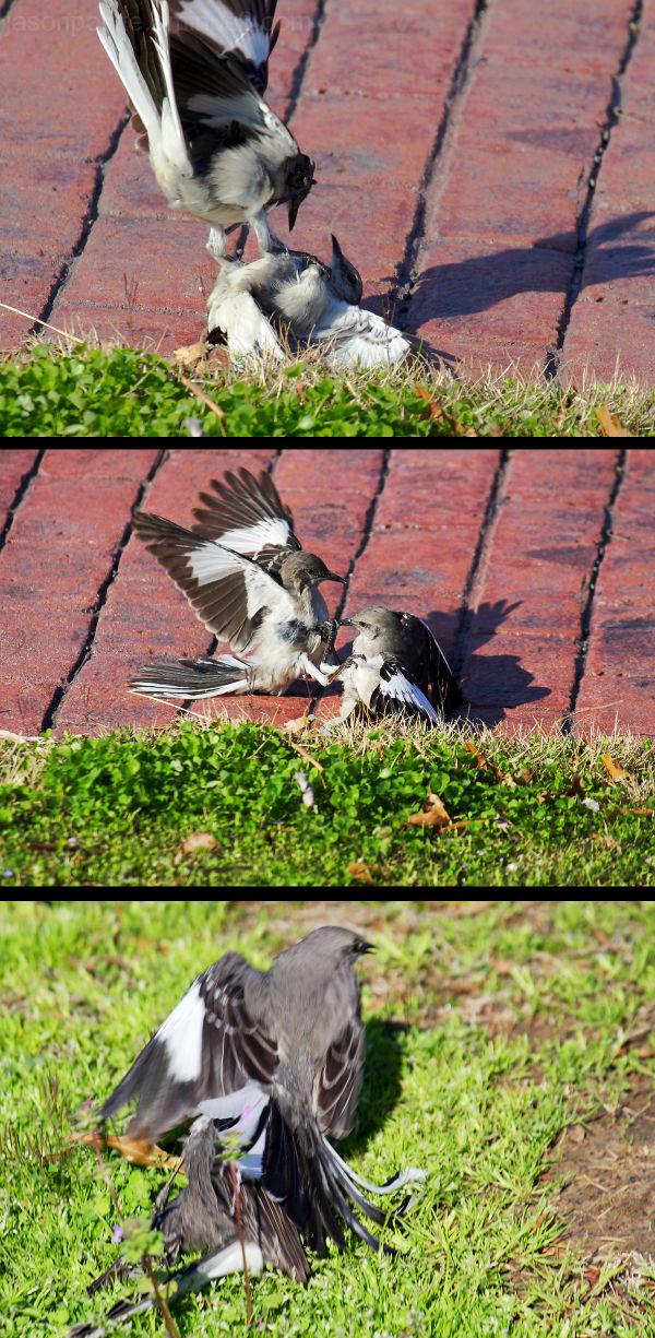 Mockingbirds fight over territory