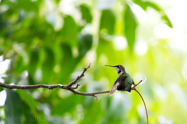 Ruby-throated hummingbird (female) stretching