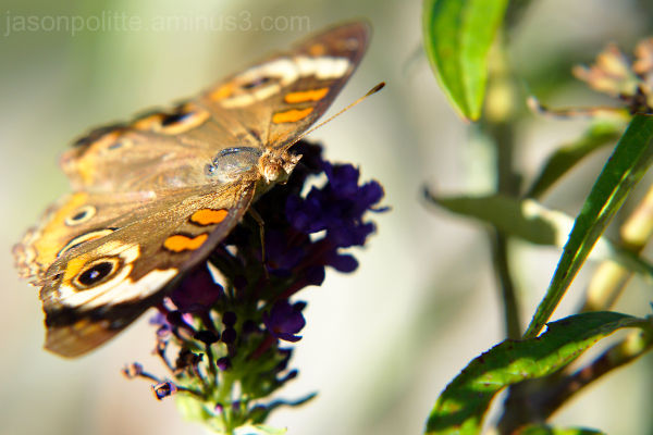 Common Buckeye Butterfly feeding on Buddleja