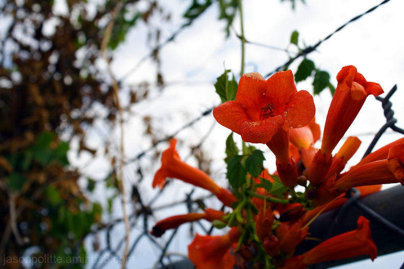 Flowering vine on chain link fence.
