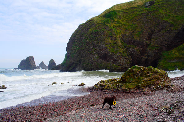 Playing fetch in the North Sea at Dunnottar