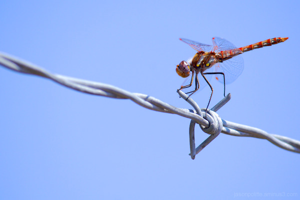 Dragonfly straddling the barbed-wire fence