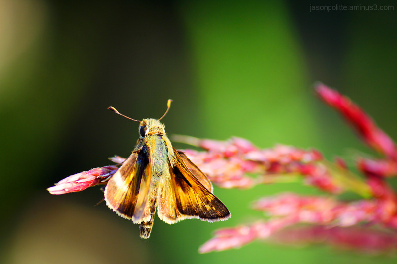 Skipper butterfly on a strand of grass