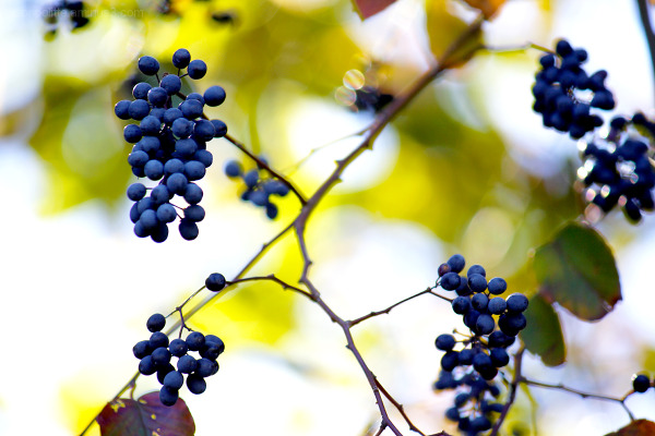 Autumn berries on vine with yellow background