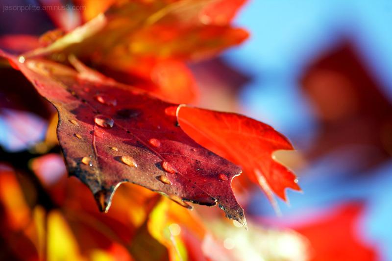 Droplets on Autumn Oak leaves.