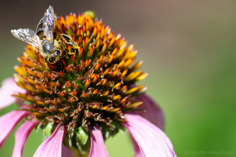 Honey Bee on Purple Cone Flower.