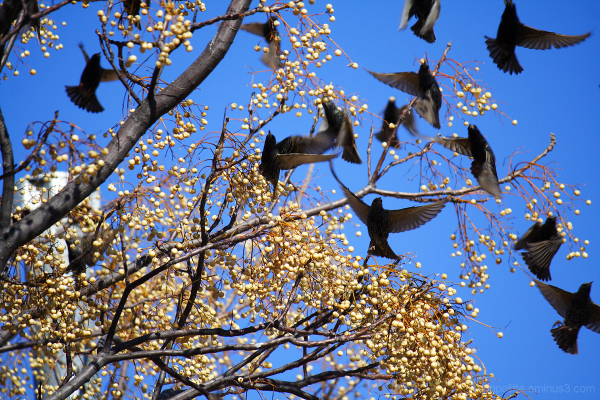 Starlings flock from this fruit tree