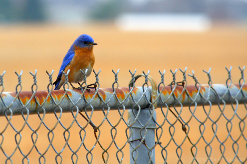 Male bluebird perches atop this chainlink fence.