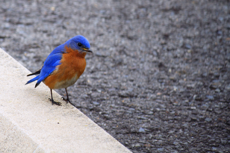 Bluebird taking a curious look at the camera.