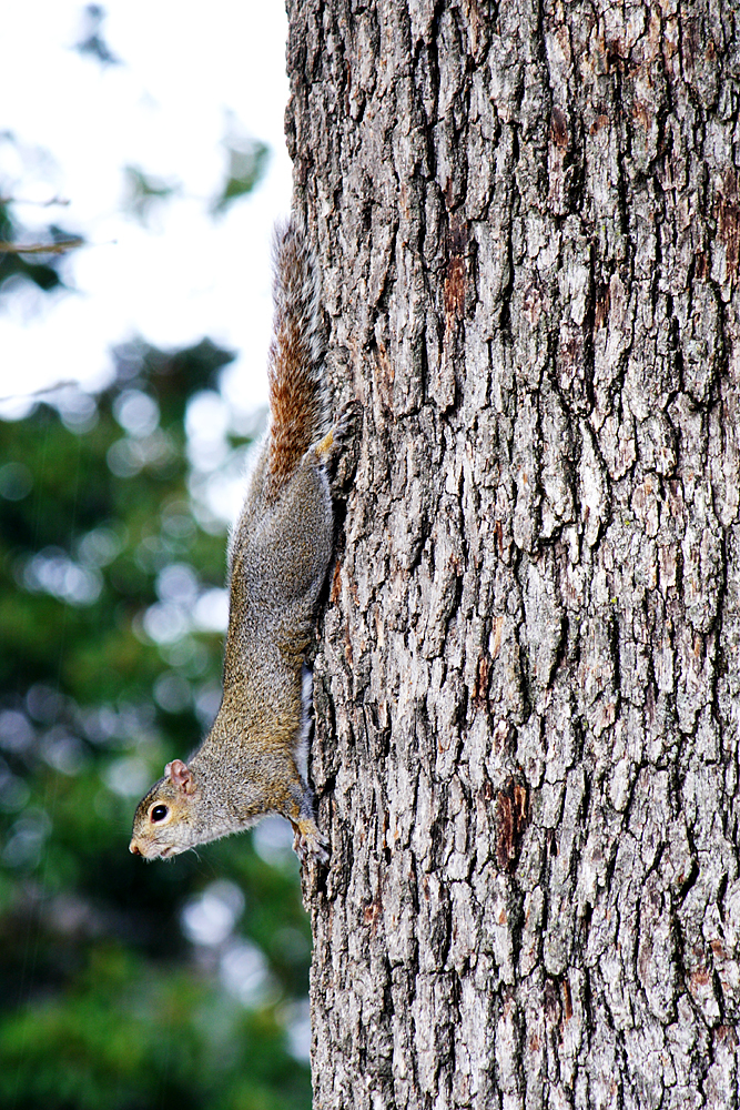 Grey Squirrel hangs upside down on a tree trunk.