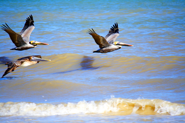 Pelicans fly low over the water at Progreso beach