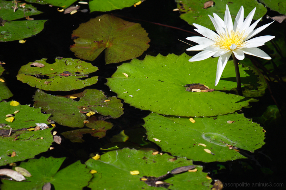 Dzibilchaltun Cenote Lily Pads and Lotus Flower