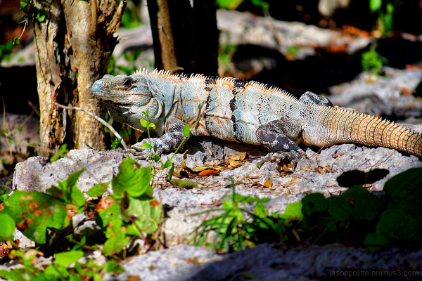 Large Iguana at Dzibilchaltun