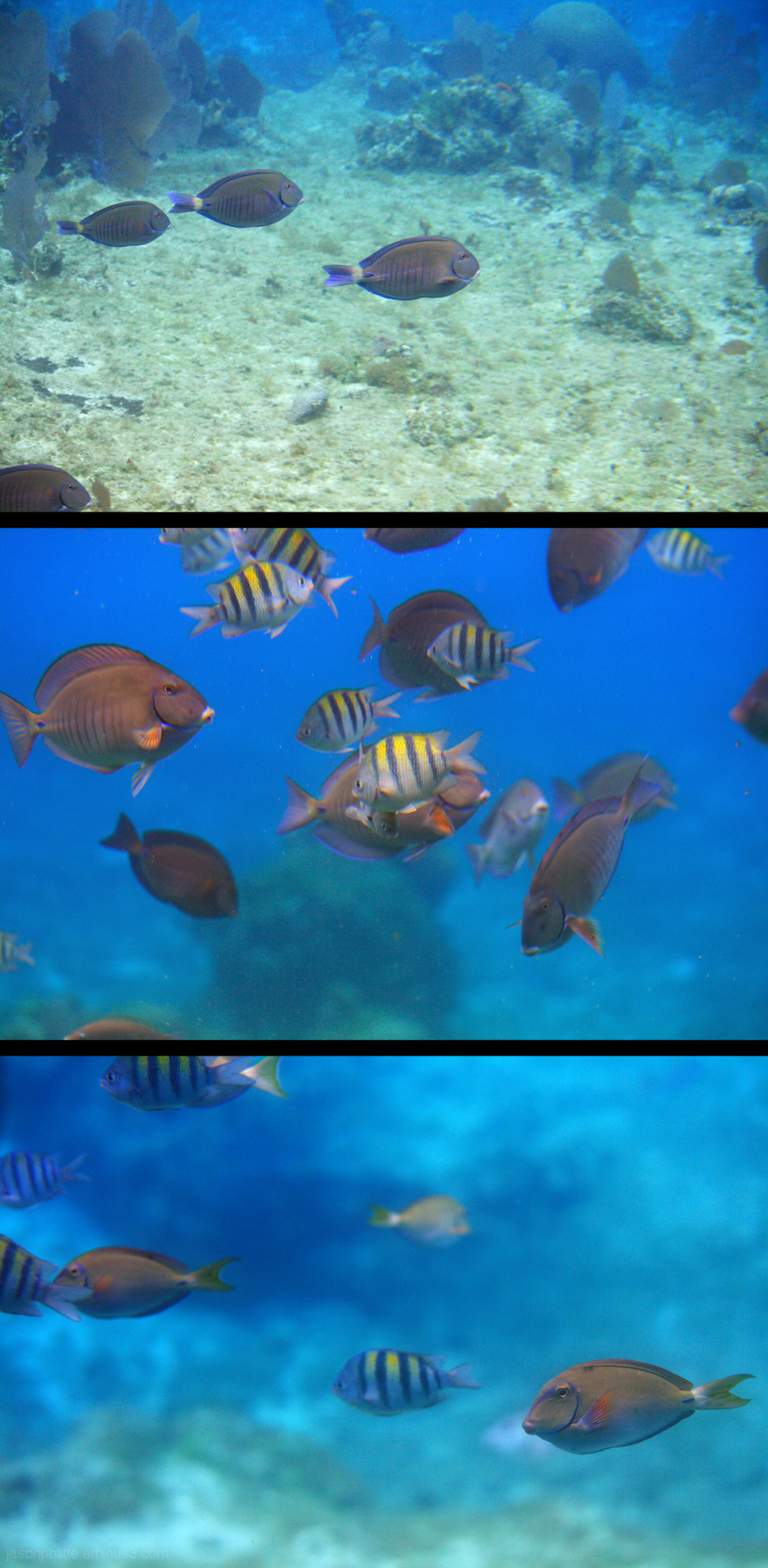 Sergeant Majors and Ocean Sunfish at Paradise Reef