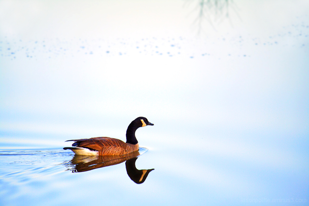 Canada Goose and reflection in a pond with ripples
