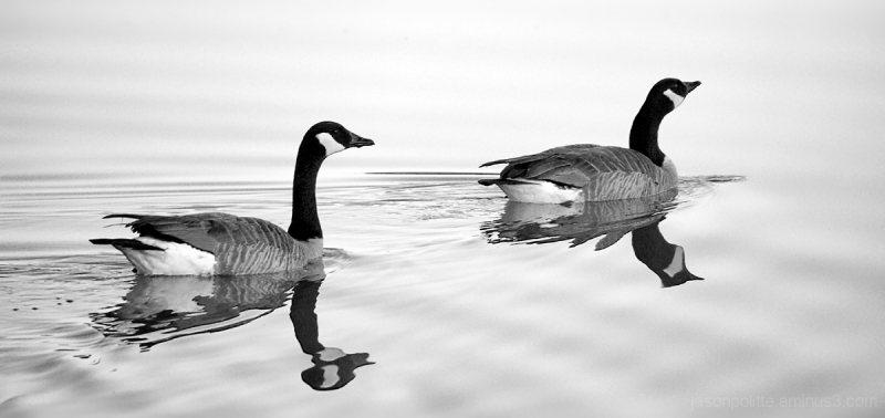 Canada Geese swimming and forming ripples