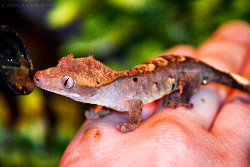 Flame Morph Eyelash Crested Gecko hand fed