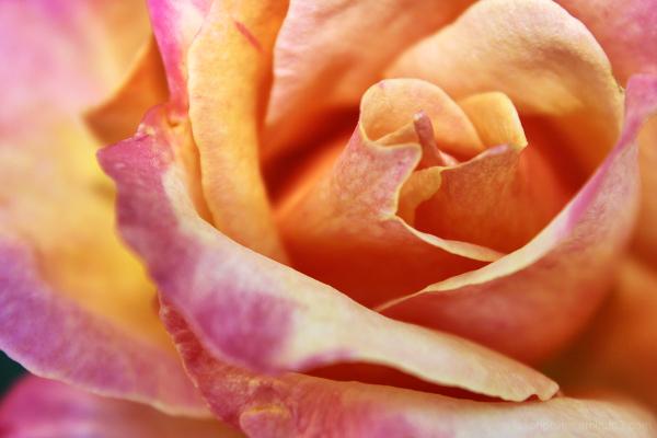 Brodway hybrid tea rose