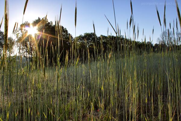 Sun illuminated damp tall grass at Hendrix Village