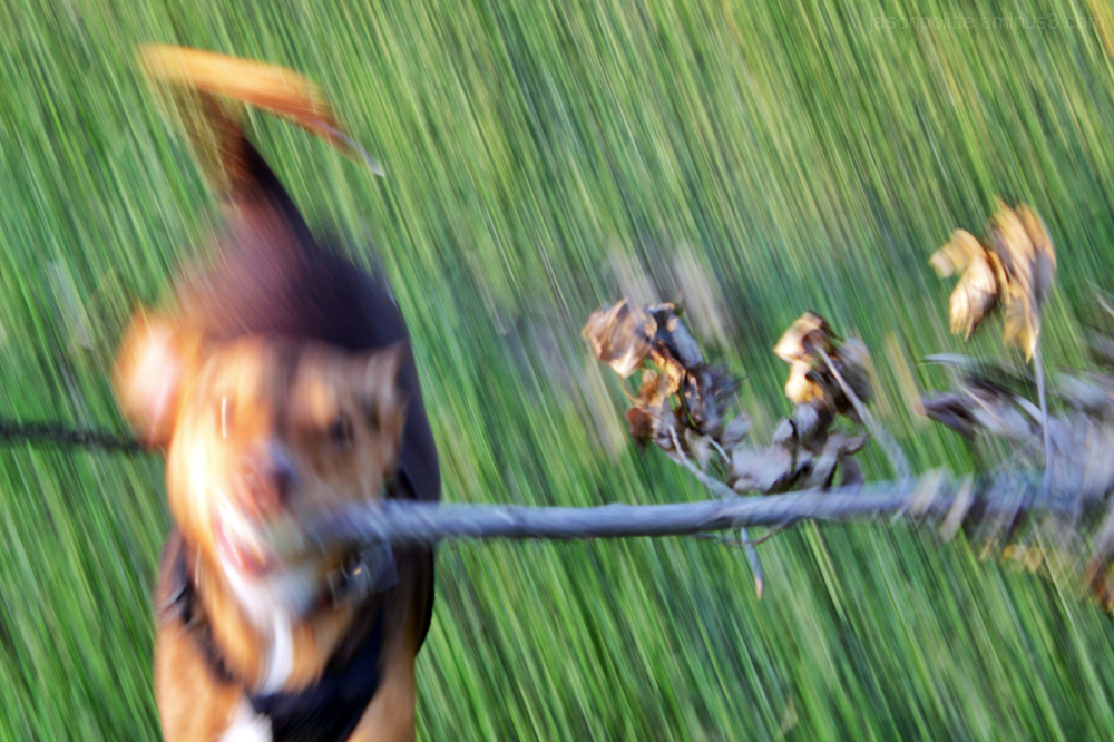 Dog running with stick and long shutter speed.