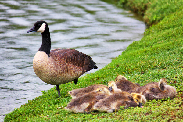 Canada Goose watches over sleeping goslings