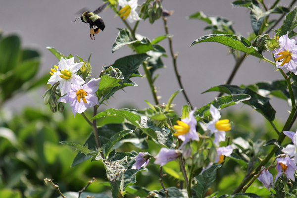 Bumblebee hovering near a flower.