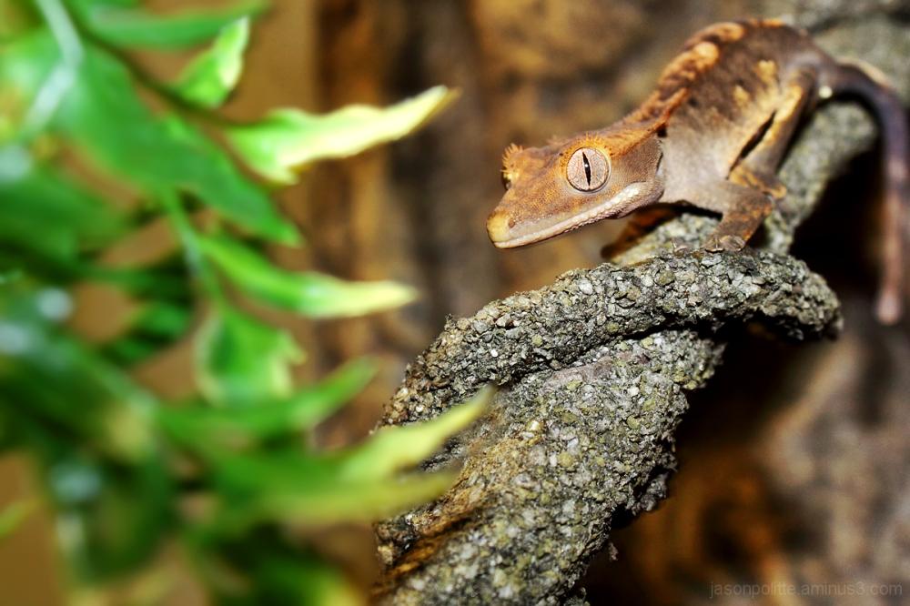Norbert the Eyelash Crested Gecko