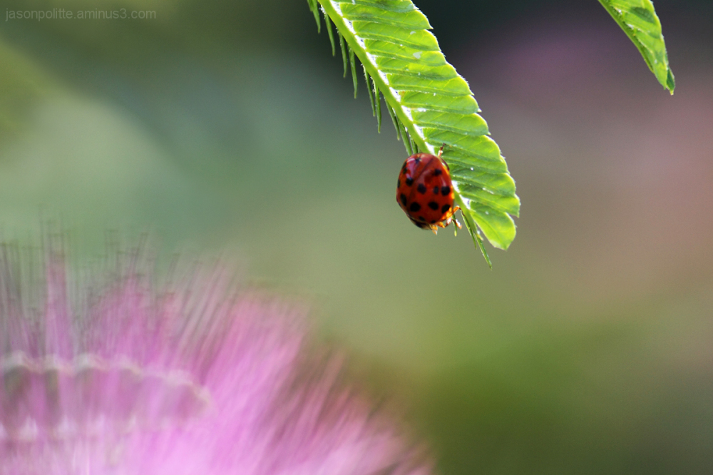 Ladybug with Mimosa leaf and flower