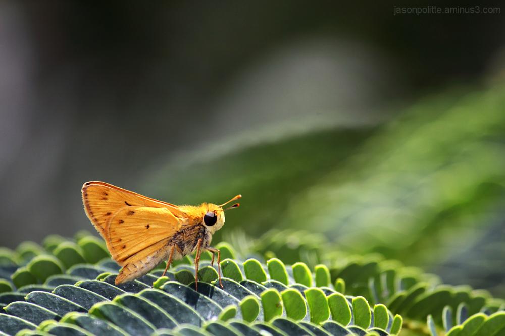 Skipper Butterfly on Mimosa Leaf