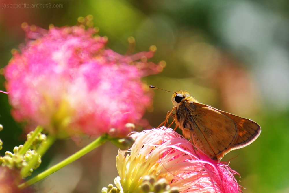 Skipper butterfly on Mimosa flower