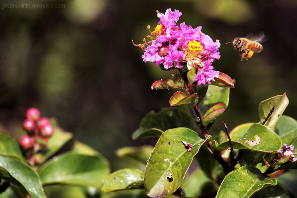 Honey Bee picture-bombs Crepe Myrtle flower photos
