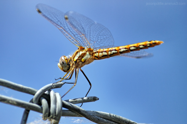 Dragonfly perched on barbed wire