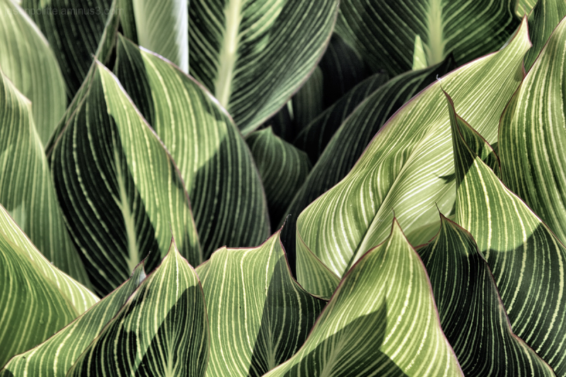 Leaves of the Canna Lily