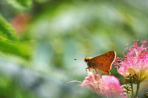 Skipper butterfly with Mimosa flowers