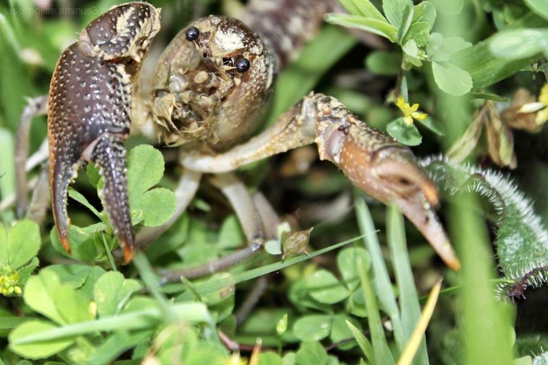 Crawdad, crayfish, or mudbug ready to pinch