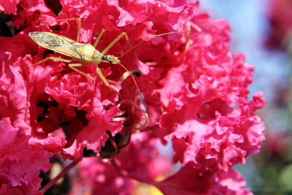 Insect amongst the Crepe Myrtle flowers
