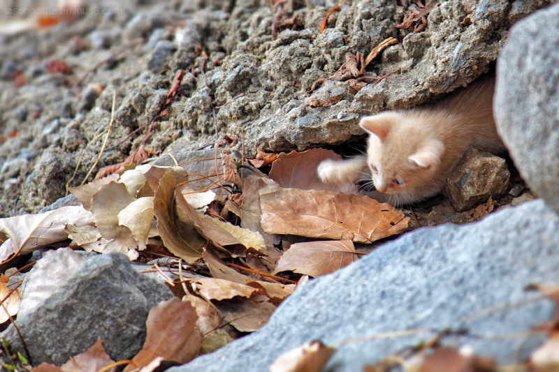 Feral kitten playing with leaf.