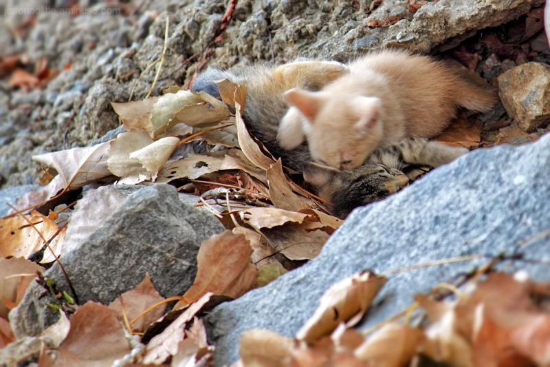 Feral kittens wrestling each other.