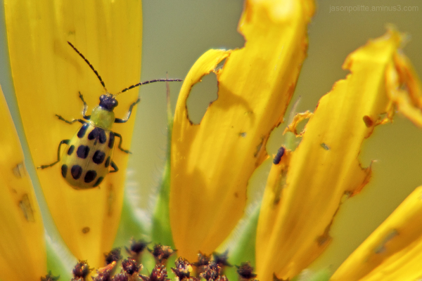 Spotted Cucumber Beetle Sunflower